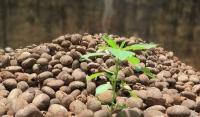 பனைமரத்தின் உலர்ந்த நிலையில் காணப்படும் விதைகள்